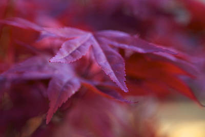 Photograph - Glory - Japanese Maple Leaves by Jane Eleanor Nicholas