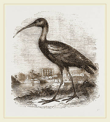 Ibis Drawing - Glossy Ibis by Litz Collection