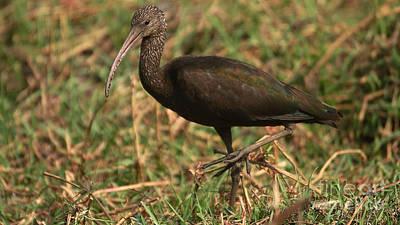 Photograph - Glossy Ibis by Mareko Marciniak