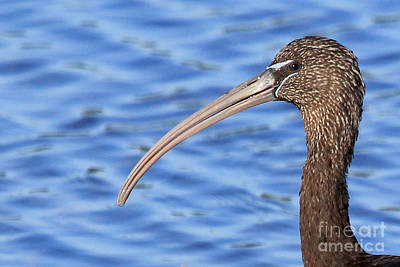 Photograph - Glossy Ibis by Meg Rousher