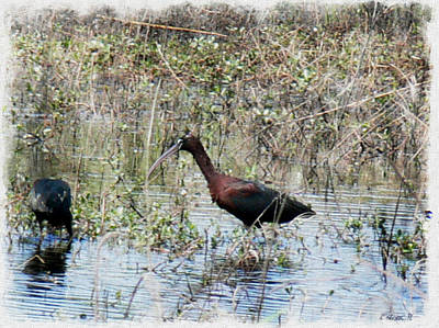 Manipulation Photograph - Glossy Ibis-savannahwildliferefuge-featured In Wildlife Group  by EricaMaxine  Price