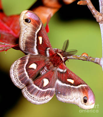 Photograph - Glovers Silk Moth by Millard H Sharp