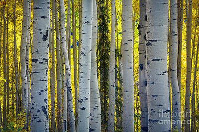 Glowing Aspens Art Print by Inge Johnsson