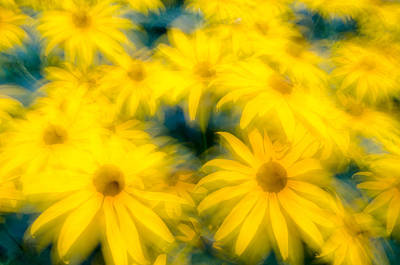 Photograph - Glowing Blossoms Black Eyed Susans by Rob Huntley