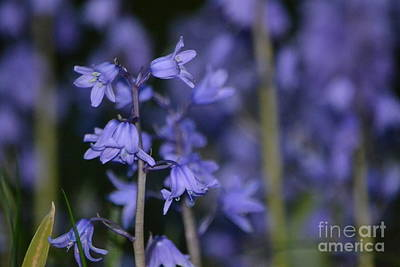 Photograph - Glowing Blue Bells by Aqil Jannaty