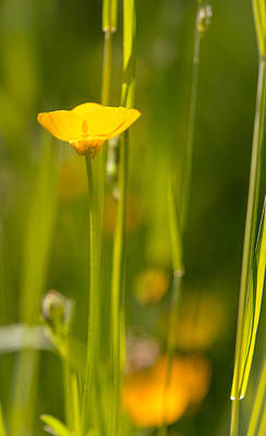 Photograph - Glowing Buttercup by Amy Porter