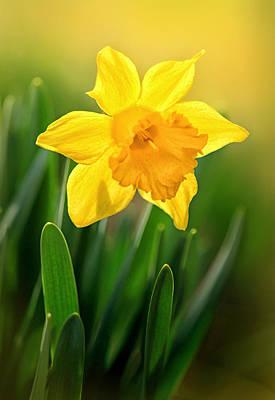 Photograph - Glowing Daffodil by Carolyn Derstine