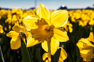 Glowing Daffodil Art Print