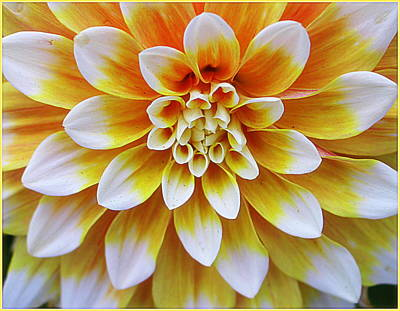 Glowing Dahlia Art Print by Dora Sofia Caputo Photographic Art and Design