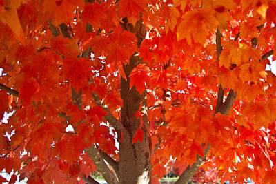 Glowing Fall Maple Colors 2 Art Print by Douglas Barnett