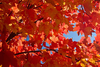 Glowing Fall Maple Colors 3 Art Print