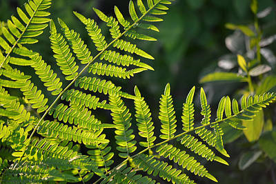 Photograph - Glowing Fern by Beth Sawickie