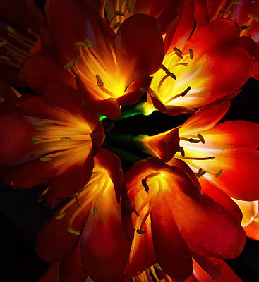 Clivia Flowers Photograph - Glowing From The Sun by Camille Lopez