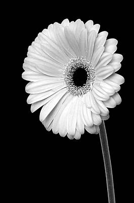 Photograph - Glowing Gerbera by Dee Cresswell