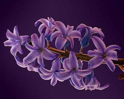 Photograph - Glowing Hyacinth by Don Wolf