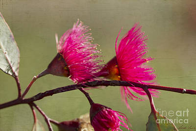 Gumtree Photograph - Glowing In The Afternoon Sun by Linda Lees