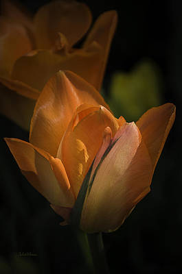 Photograph - Glowing Orange Tulips by Julie Palencia