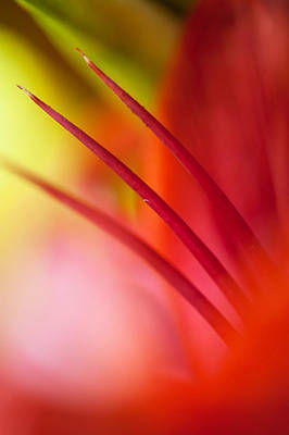 Photograph - Glowing Red. Lily Macro Abstract by Jenny Rainbow
