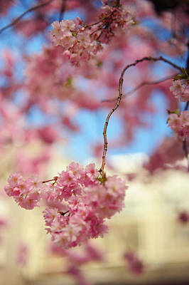 Photograph - Glowing Softness. Pink Spring In Amsterdam by Jenny Rainbow
