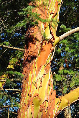 Photograph - Glowing Summer Arbutus by Sharron Cuthbertson