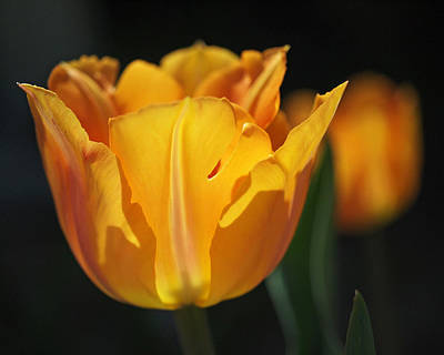 Photograph - Glowing Tulips by Rona Black