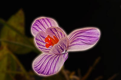 Photograph - Crocus by Don Wolf