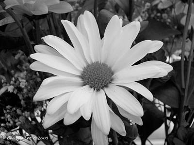 Photograph - Glowing White Daisy by Belinda Lee