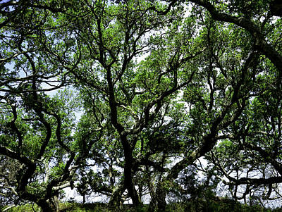 Photograph - Gnarled Live Oaks by Bonnie Leigh Delar