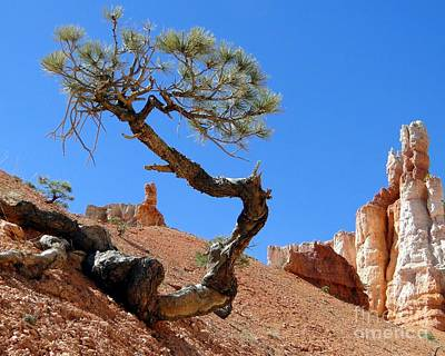 Photograph - Gnarled Pine In Bryce Canyon Utah by Barbie Corbett-Newmin
