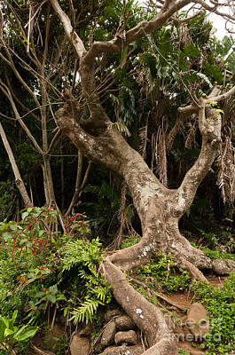 Photograph - Gnarled Tree At The Iao Needle State Park On Maui Hawaii Usa by Don Landwehrle