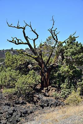 Photograph - Gnarled Tree On The Lava Beds - Portrait by Rich Rauenzahn