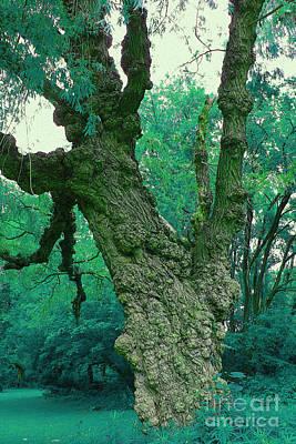Photograph - Gnarly Tree by Nina Silver