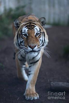 Photograph - Go Get 'em Tiger by Brenda Schwartz