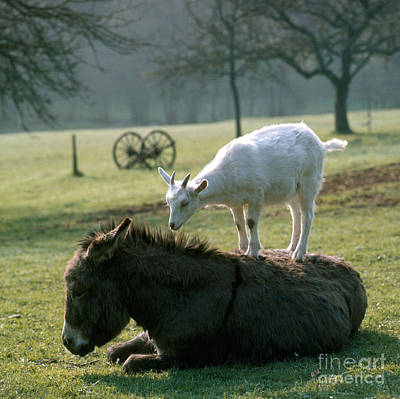 Photograph - Goat And Donkey by Hans Reinhard