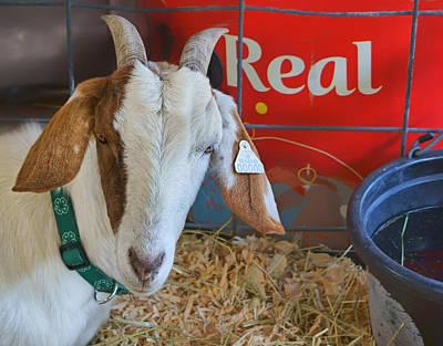 Goat At County Fair Art Print by Nikolyn McDonald