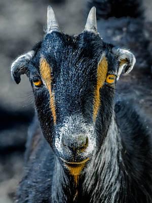 Goat Art Print by Brian Stevens