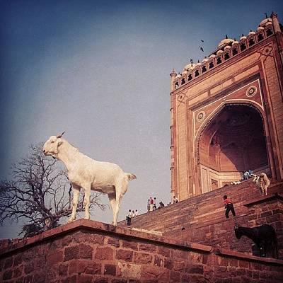 Animals Wall Art - Photograph - Goat At Fatehpur Sikri by Hitendra SINKAR