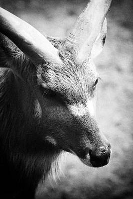 Photograph - Goat by Goyo Ambrosio