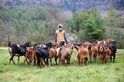 Photograph - Goat Herd by Paul Miller