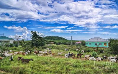 Photograph - Goat Idyll by Olga Hamilton