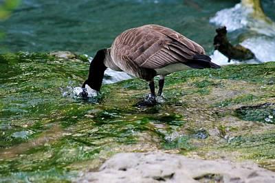 Beach Scenes Photograph - Goat Island Goose by Michael Allen