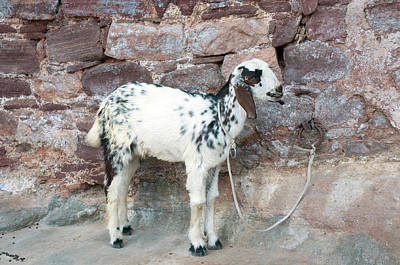 Tied-up Photograph - Goat, Jodhpur, Rajasthan, India by Inger Hogstrom