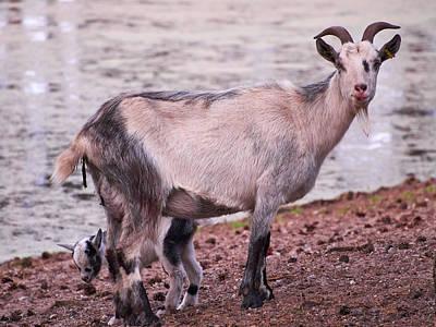 Photograph - Goat by Jouko Lehto