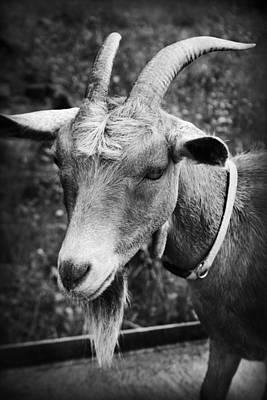 Photograph - Goat by Kelly Hazel