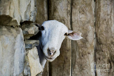 Goat Looking Oleo Art Print