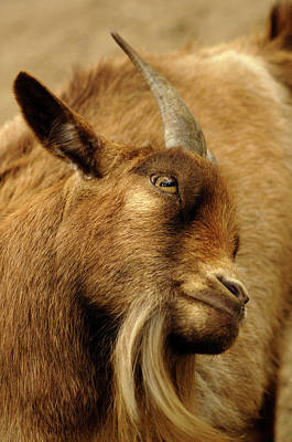 Goat Art Print by Maria Mosolova/science Photo Library