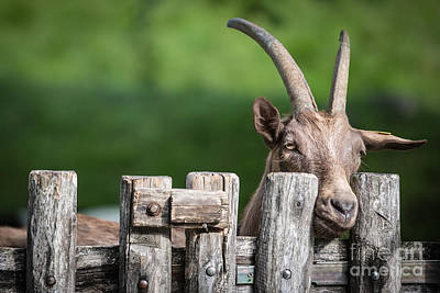 Photograph - Goat by Maurizio Bacciarini