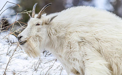 Art Print featuring the photograph Goat On The Mountain by Yeates Photography