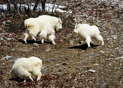 Mountain Goat Photograph - Goat Play by Greg Norrell