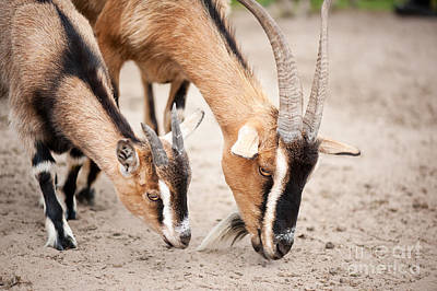 Brown Domesticated Goats Eating From Sand  Art Print